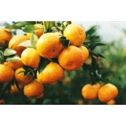Clementiner/Klementiner